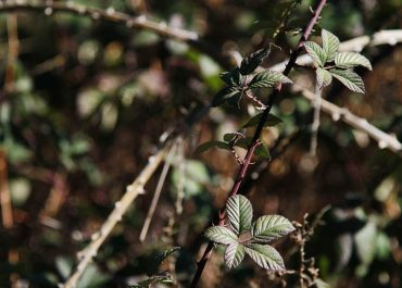 BARRIERS TO CONTROLLING BLACKBERRY IN COMMERCIAL CROPPING AREAS